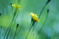 Detalles amarillos de la flor del prado Fotografía de archivo libre de regalías