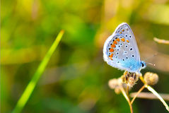 Detalles azules de la mariposa Foto de archivo