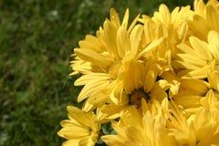 Detalles brillantes amarillos de las flores foto de archivo libre de regalías