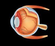 Detalles completos de la anatomía del ojo humano Foto de archivo