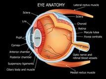 Detalles completos de la anatomía del ojo humano Fotografía de archivo libre de regalías