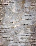 Detalles de la corteza del árbol de abedul Foto de archivo