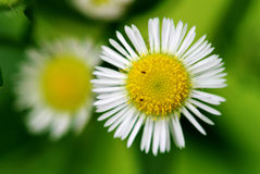 Detalles de la flor de la margarita Imagenes de archivo