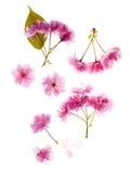 Detalles de la flor de Sakura Imagen de archivo libre de regalías