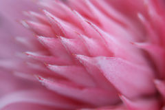 Detalles de la flor del fasciata de Aechmea Fotos de archivo libres de regalías
