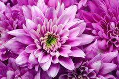 Detalles de la flor rosada para el fondo o la textura Foto de archivo libre de regalías