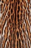 Detalles de la piel del leopardo Foto de archivo libre de regalías