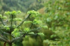 Detalles de la rama de árbol de pino Imagenes de archivo
