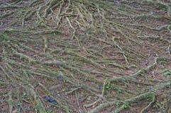 Detalles de las raíces antedichas de la tierra de un árbol en el bosque Foto de archivo