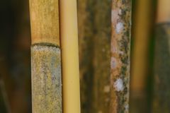 Detalles de los troncos de bambú amarillos del paralelo imagenes de archivo