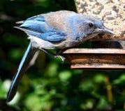 Detalles de un arrendajo azul en un alimentador del pájaro Imagen de archivo libre de regalías