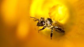 Detalles de una abeja de la miel dentro de la flor Imagen de archivo libre de regalías