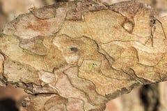 detalles de una corteza del pino Foto de archivo