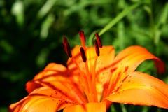 Detalles del lirio anaranjado Imagenes de archivo