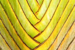 Detalles del tallo de la hoja de la palma del viajero Imagen de archivo libre de regalías