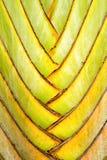 Detalles del tallo de la hoja de la palma del viajero Foto de archivo libre de regalías