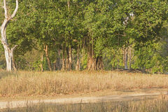 Detalles del tronco de baniano Imagen de archivo