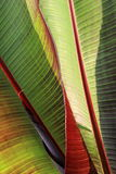 Detalles en las hojas del lirio de Canna popular Imagen de archivo