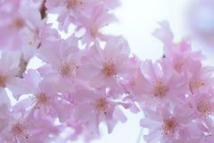 Detalles macros de flores de cerezo que lloran rosadas en Japón foto de archivo