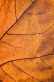 Detalles macros de la hoja de arce del otoño con luz del sol Imagenes de archivo