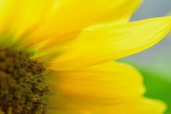 Detalles macros del girasol amarillo en naturaleza imágenes de archivo libres de regalías