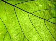 Detalles verdes de la hoja Fotos de archivo libres de regalías