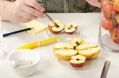Detection of rot inside apple. In the phytosanitary laboratory Royalty Free Stock Photography