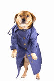 Detective dog. A dog and waterproof in the white background Stock Image