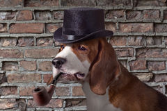 Detective. The hound in cap is very similar on a detective royalty free stock photo
