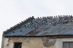 Deteriorated roof. Abandoned and deteriorated roof from old farm with pigeon flock stock photography