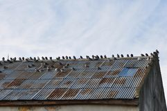 Deteriorated roof with pigeons Stock Photos