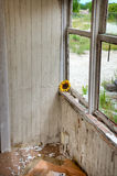 Deteriorating Building. A Sunflower Sitting Inside an Old Deteriorating Building stock image