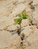 Determination. Unknown plant, probably a weed, growing out of hard caked ground stock photo