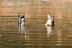 Determination. Two mallards diving under water for food stock photo