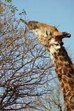 Determination: Giraffe reaching high Stock Photos