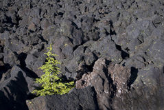 Determination - Horizontal. Horizontal image of a single conifer struggling to survive in the McKenzie Pass Lava Field near Dee Wright Observatory Stock Image