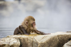 Determination: Wet, Wild Baby Snow Monkey. With soaking wet fur, rising out of the steamy water of the hot springs , a wild baby snow monkey stretches it`s paws Stock Image