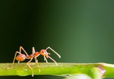 Determined ant Stock Photo