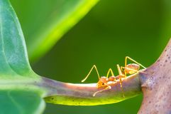 Determined ant Stock Photos