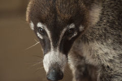 Determined Coati Royalty Free Stock Photography