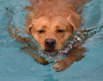 Determined Dog Swimming. A very determined dog swimming with a purpose, loving the pool stock photography