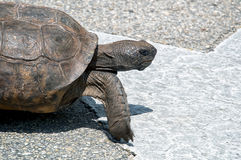 Determined Gopher tortoise Royalty Free Stock Photos