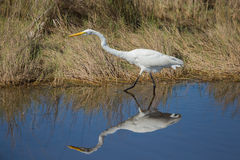 A determined Great Egret. This image was taken at the Merritt Island National Wildlife Reserve, Florida. This Great Egret is totally focused as it stalks a meal Royalty Free Stock Photography