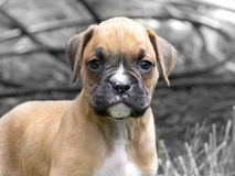 Determined Tan and White Boxer Puppy Neutral Background Stock Photo