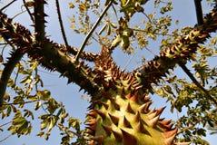 Deterrant pertinent (un arbre épineux d'épine) photos libres de droits