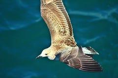 Detfiskmås flyget för mat arkivbilder