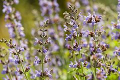 Detial of lavender flowers royalty free stock photo