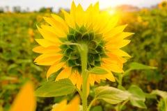 Detrás de girasoles coloque bajo subida de Sun con la llamarada caliente Imagen de archivo