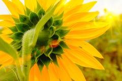 Detrás de girasoles coloque bajo subida de Sun con la llamarada caliente Fotografía de archivo libre de regalías
