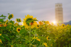 Detrás de girasoles coloque bajo subida de Sun con la llamarada caliente Imagenes de archivo